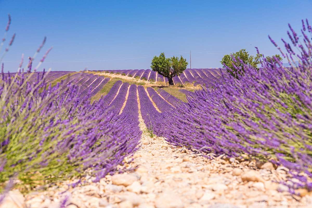Die Lavendelfelder in der Provence zählen zu den schönsten Reiseziele 2020.