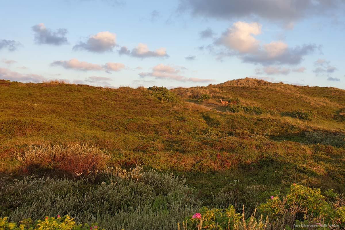 Rehbock zum Sonnenaufgang im Süden von Westerland