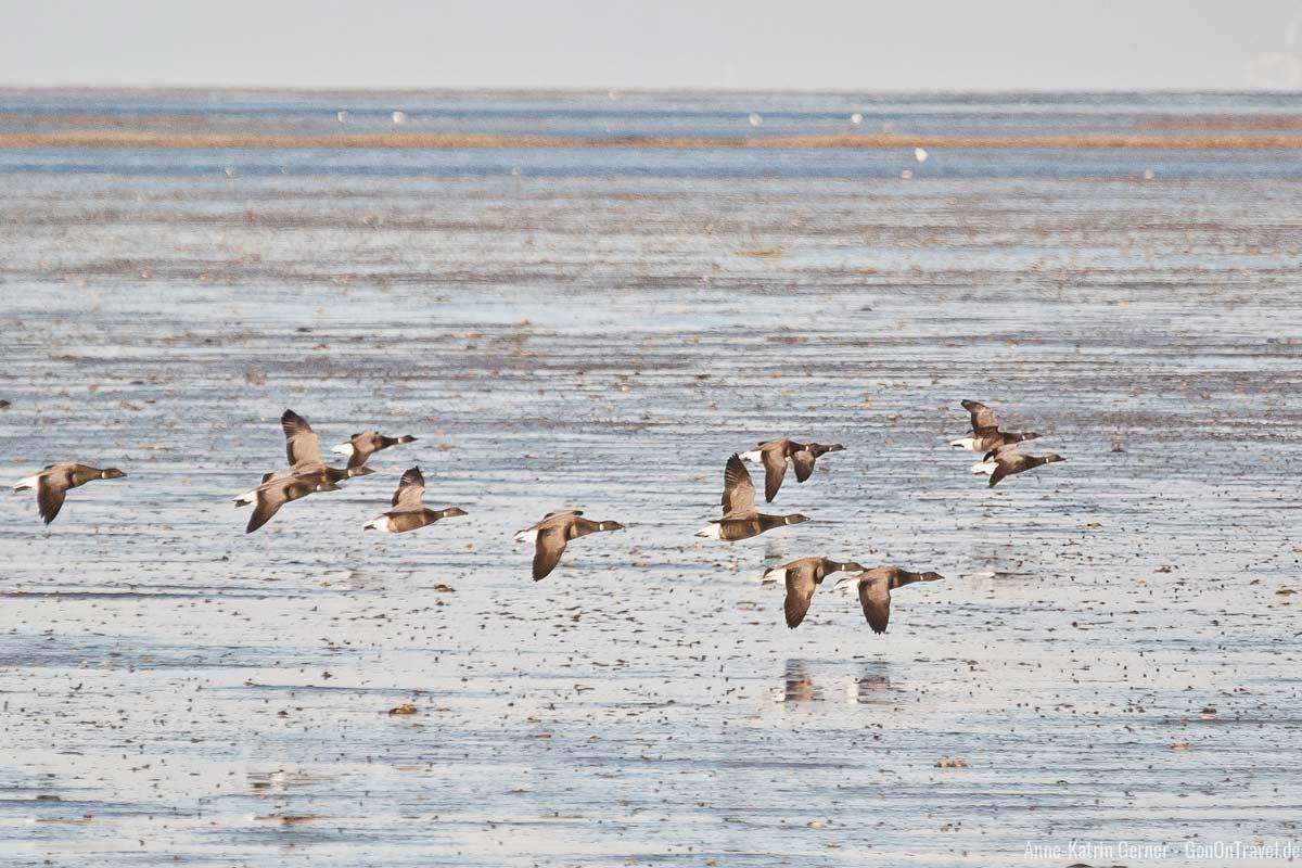 Ringelgänse fliegen über das Watt in Munkmarsch