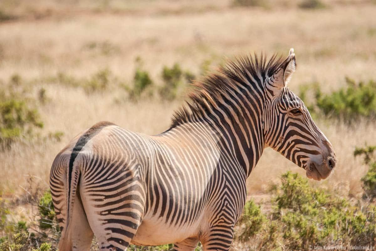 Die seltenen Grevyzebras leben in Samburu und Buffalo Springs
