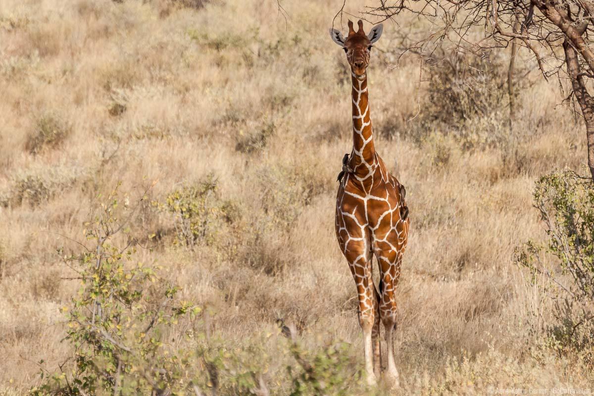 Netzgiraffen halten sich ebenfalls vermehrt in Samburu und Buffalo Springs auf