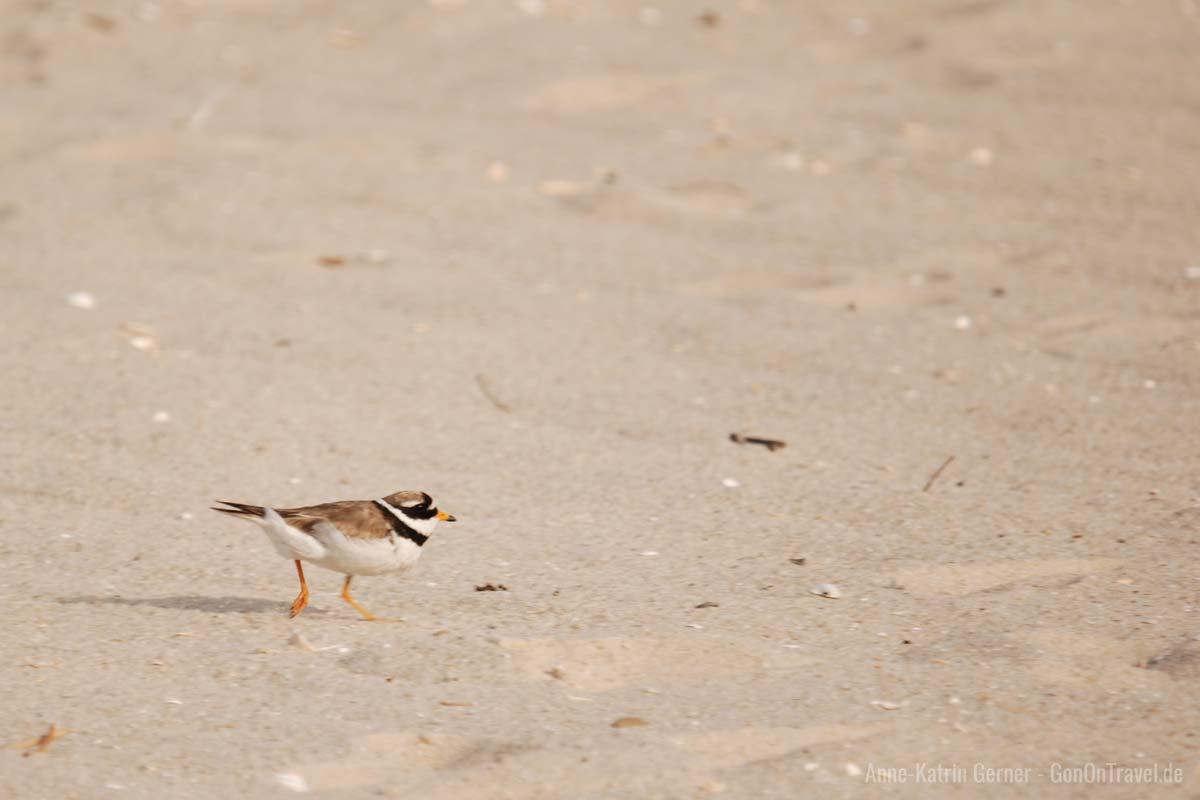 Der kleine Sandregenpfeifer ist leider nur noch selten am Watt zu finden