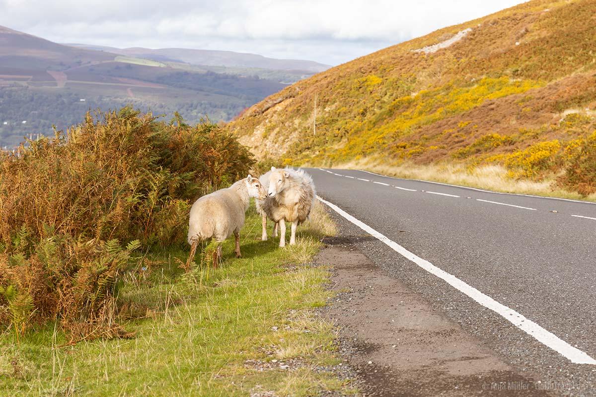 Schafe am Straßenrand im Brecon Beacons Nationalpark
