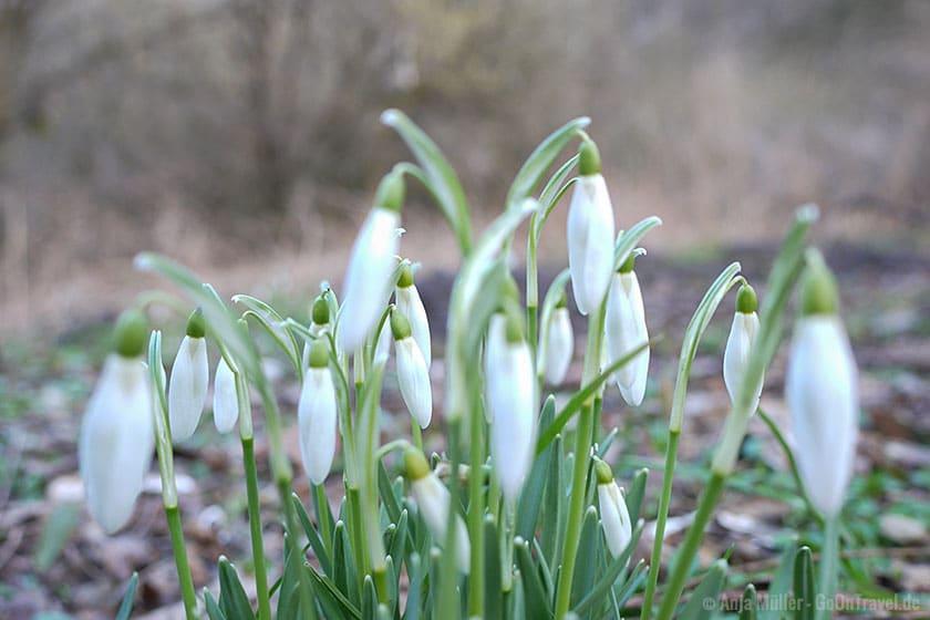 Schneeglöckchen blühen im März