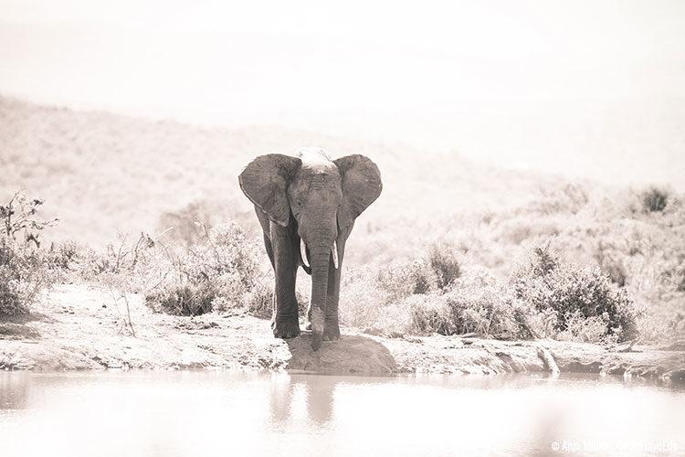 Elefantenbulle an einem Wasserloch.