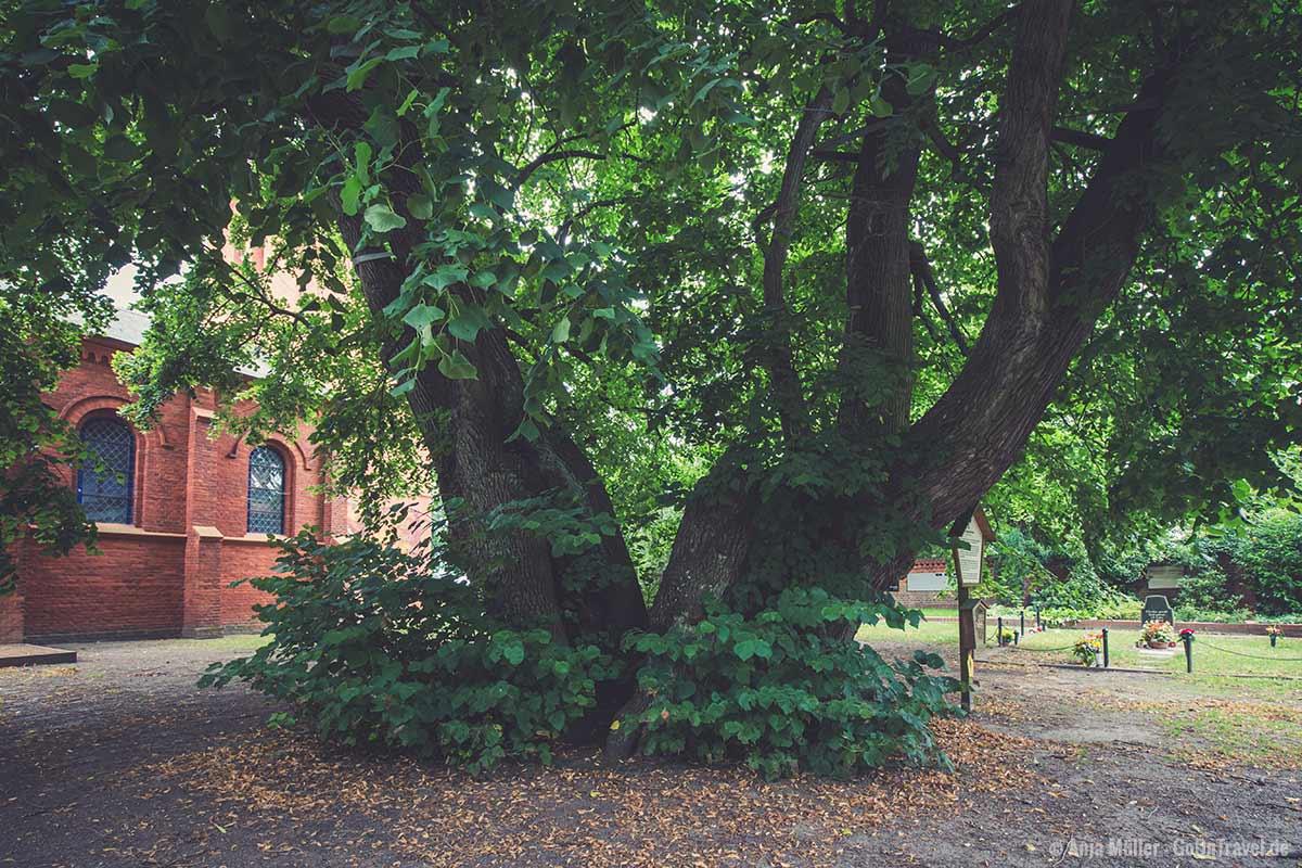 Die Schwedenlinde befindet sich auf einem Friedhof.