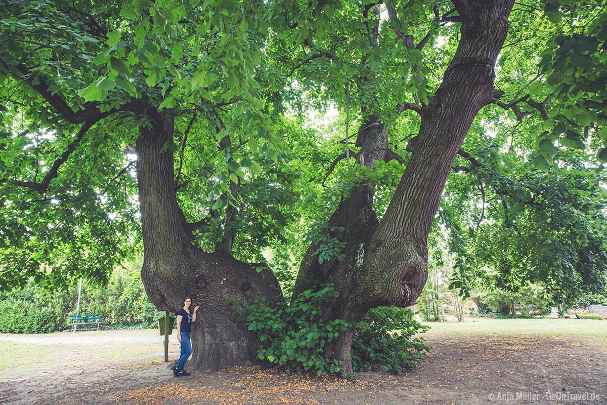 Der vermutlich dickste Baum in Brandenburg