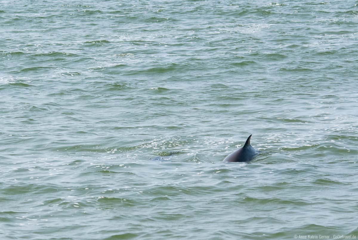 Zwei Schweinswale vor der Sylter Westküste