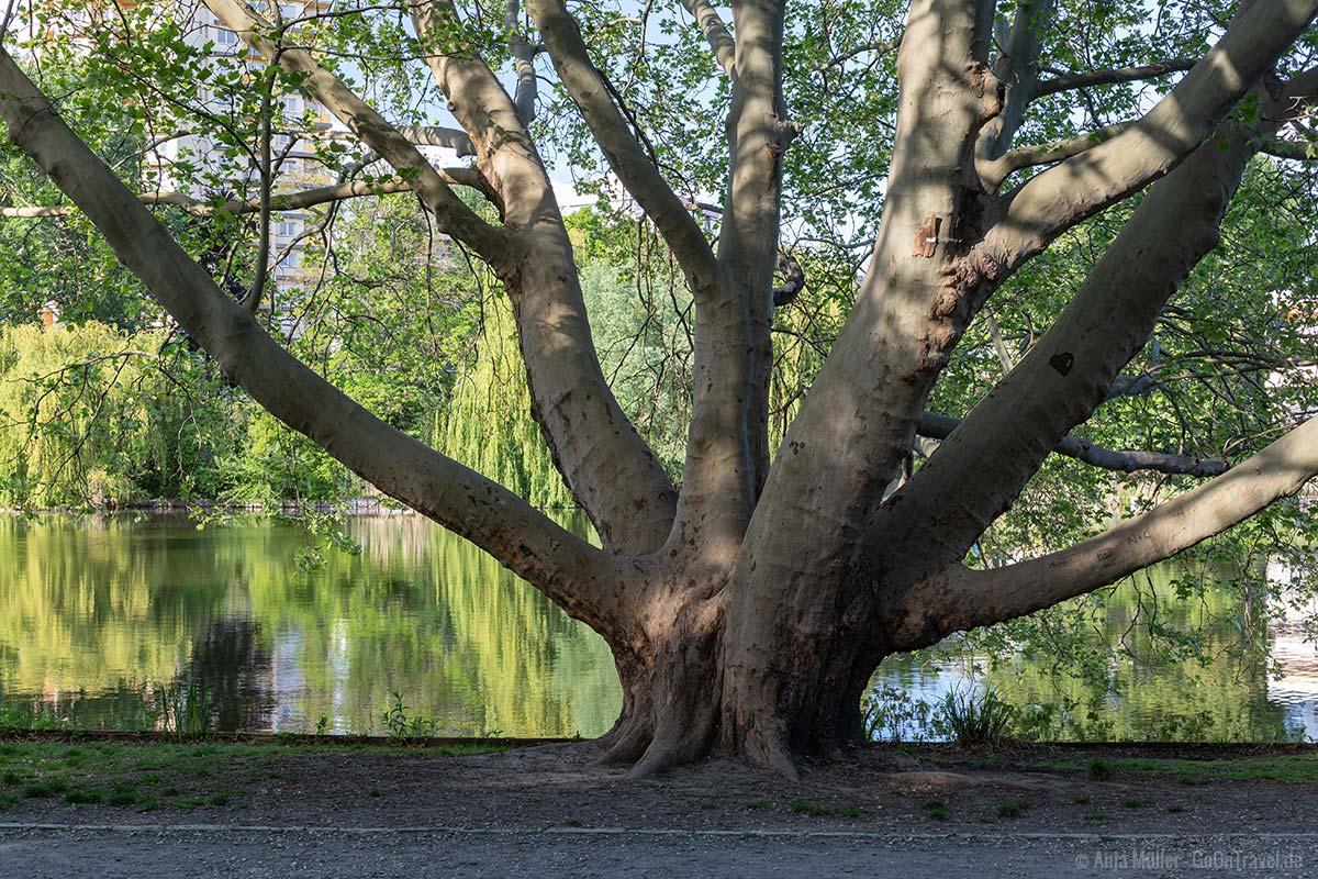 Alter Baum am Lietzensee