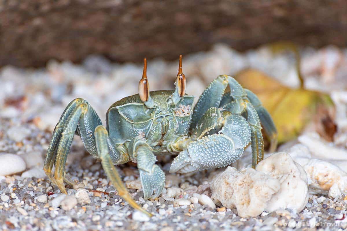 Eine Krabbe am Strand von Anse Louis
