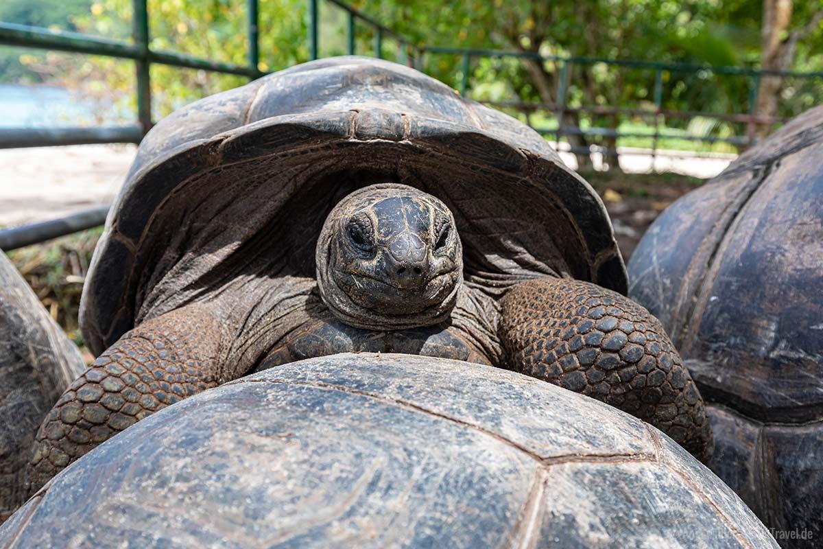 Aldabra-Riesenschildkröte am Takamaka Strand