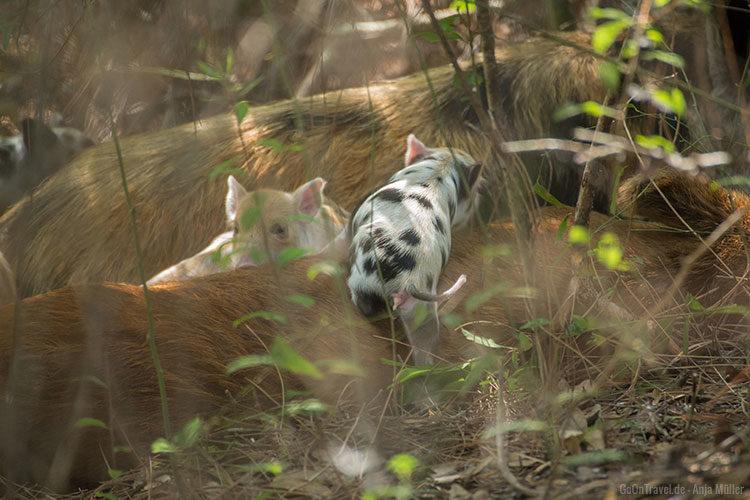 Wilde Hausschweine