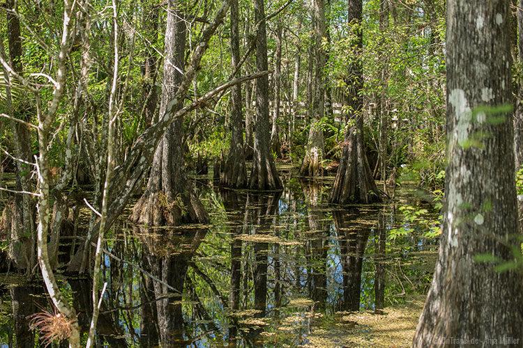 Sumpfzypressen im Six Mile Cypress Slough Preserve