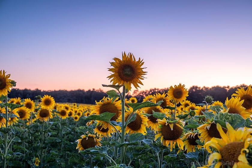 Sonnenblumenfeld zum Sonnenuntergang