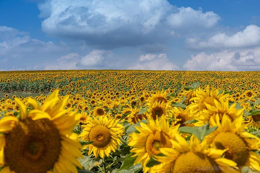Sonnenblumenfeld am Tag