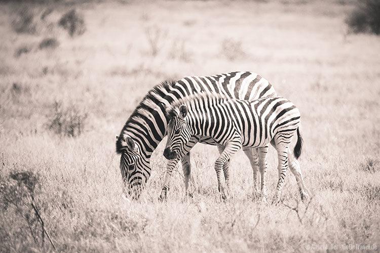 Ein Zebra mit ihrem Jungen.