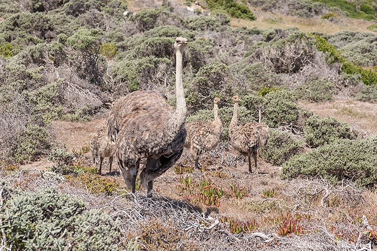Strausse im Tafelberg National Park