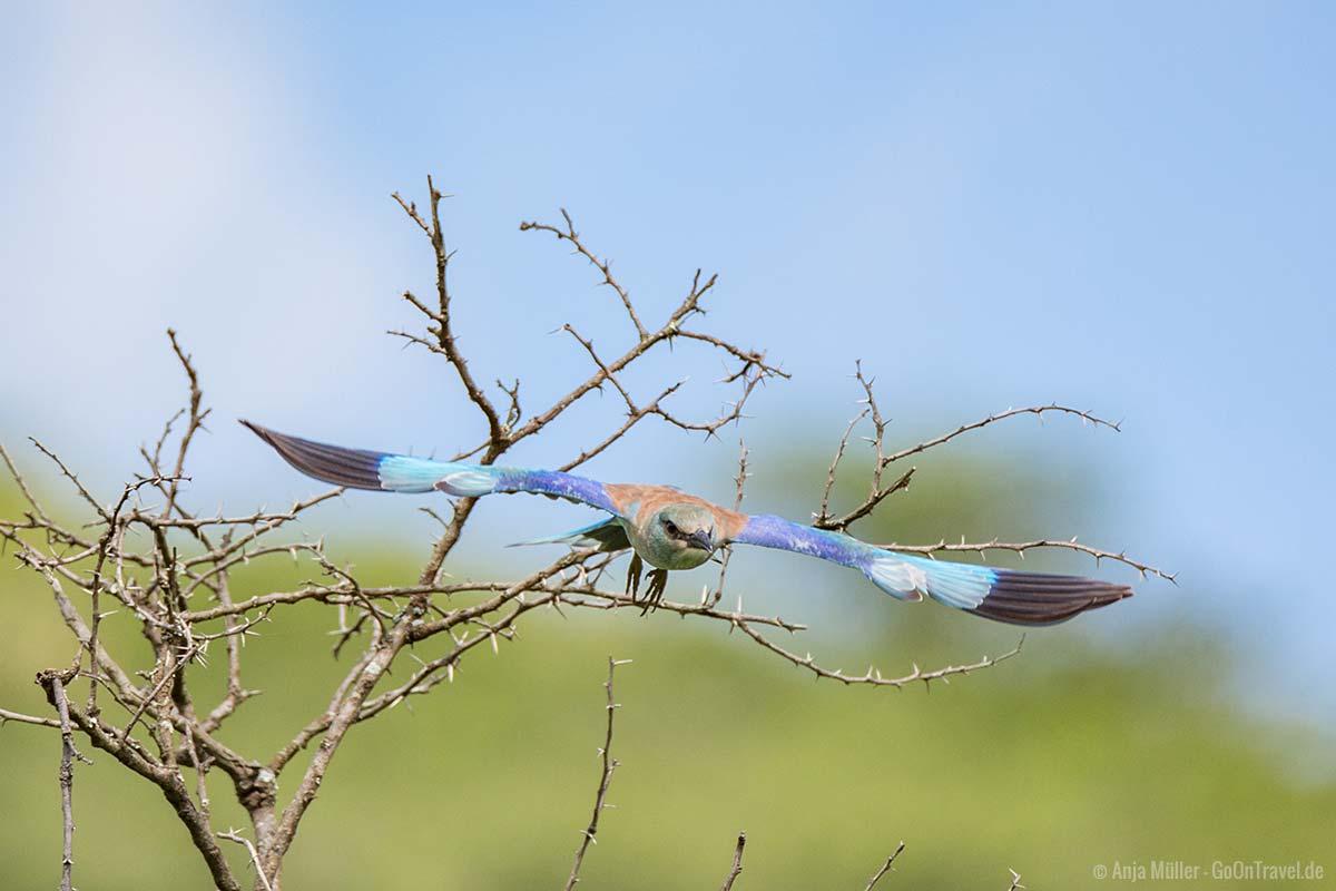 Ein European Roller – Blauracke im Flug