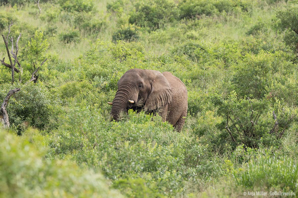 Ein Elefant mitten im Gebüsch