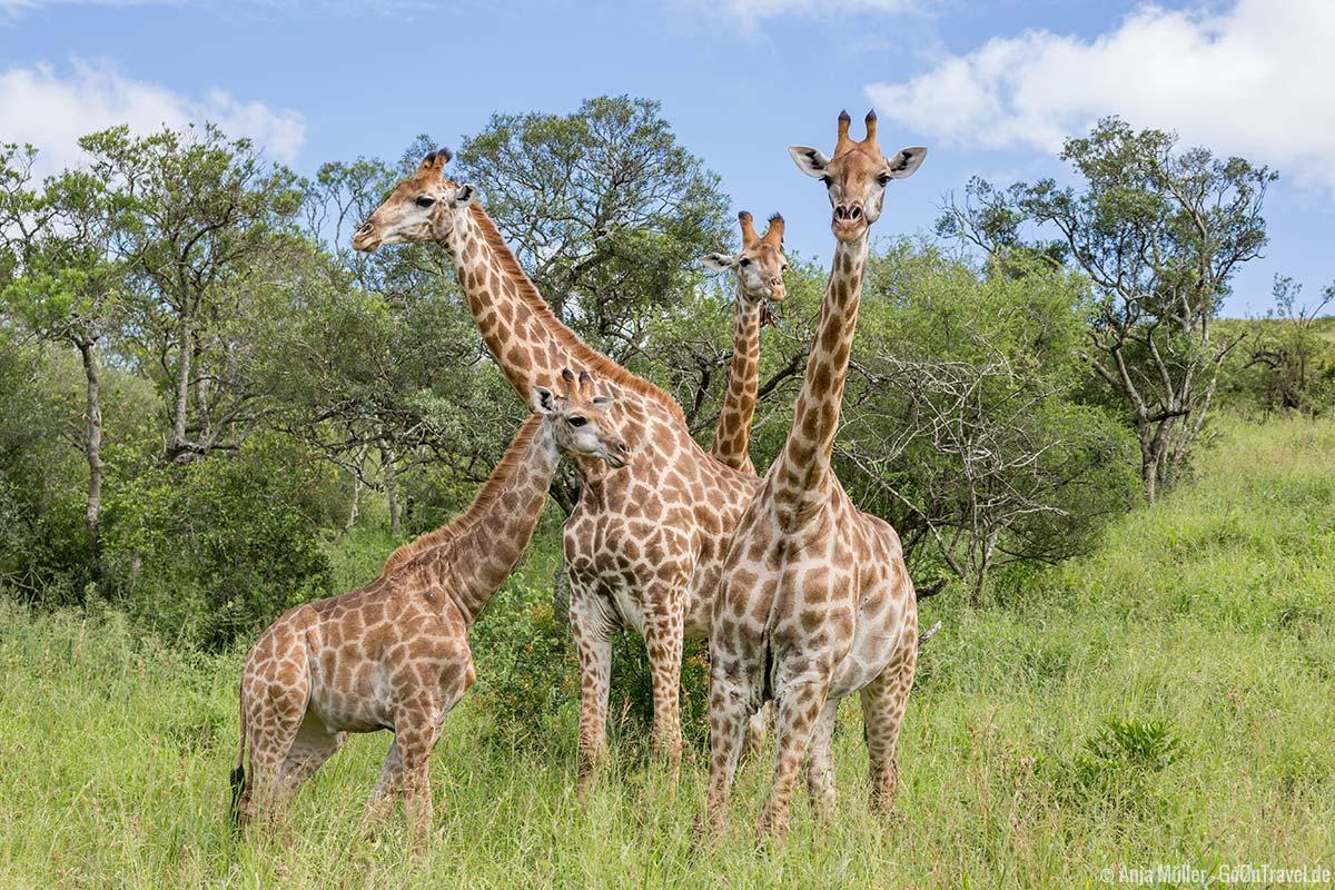 Giraffen im Hluhluwe iMfolozi Park
