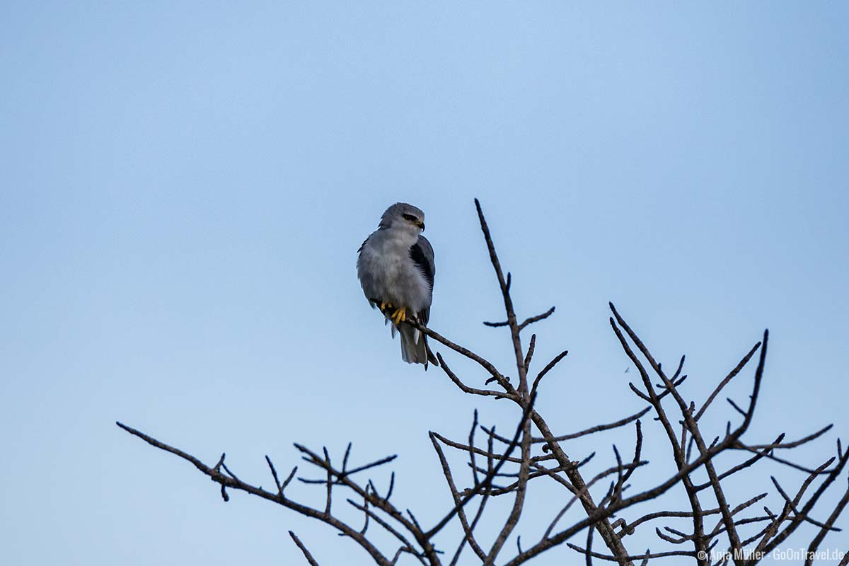 Black-shouldered kite – Gleitaar