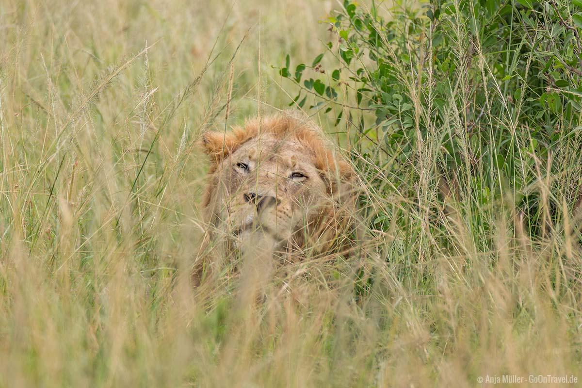 Ein schläfriger Löwe