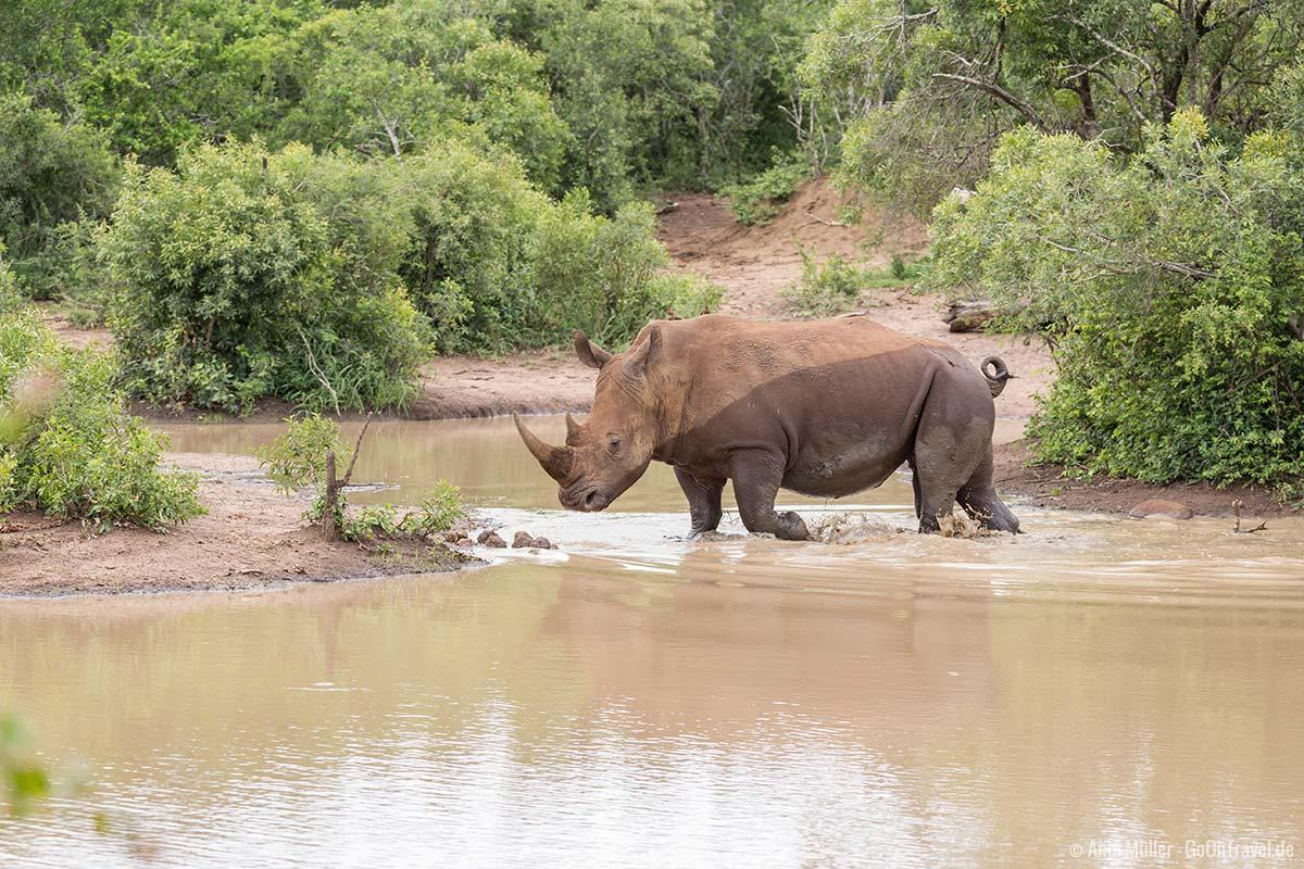 Ein Nashorn im Wasser