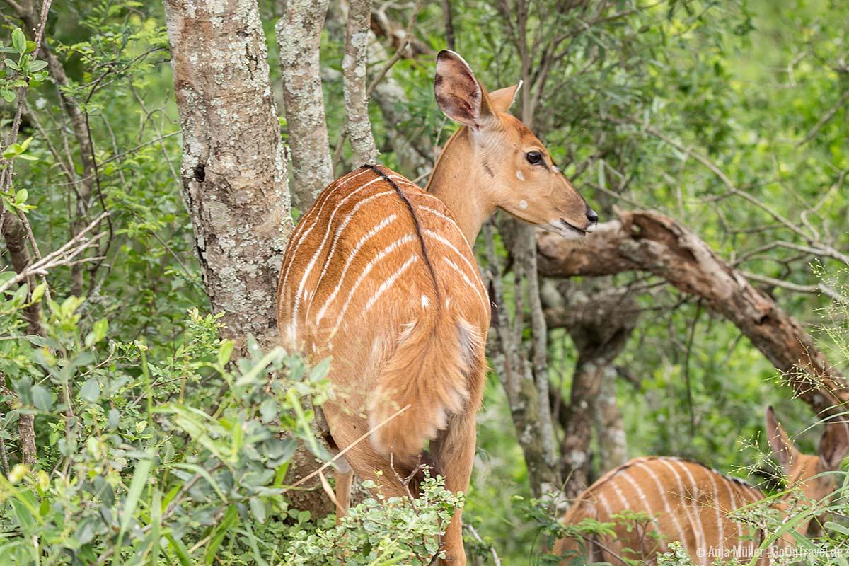 Eine Nyala-Antilope verschwindet im Gebüsch