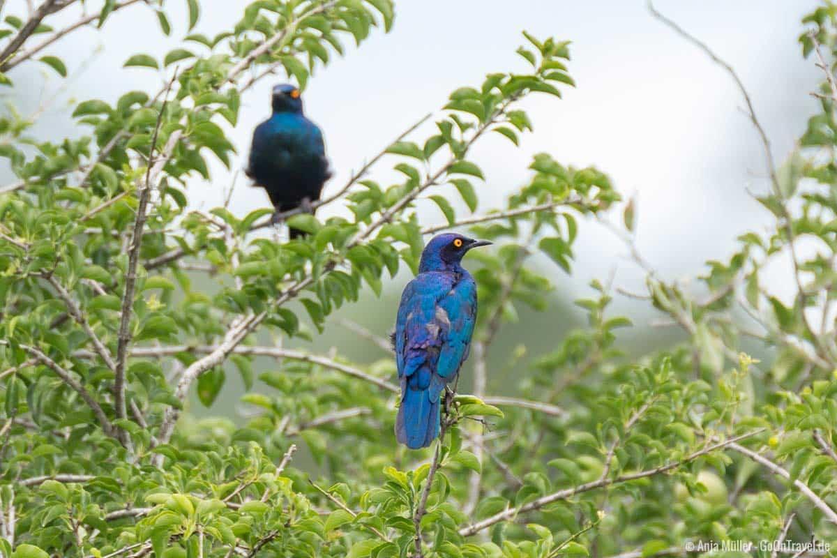 Cape glossy starling – Rotschulter-Glanzstar