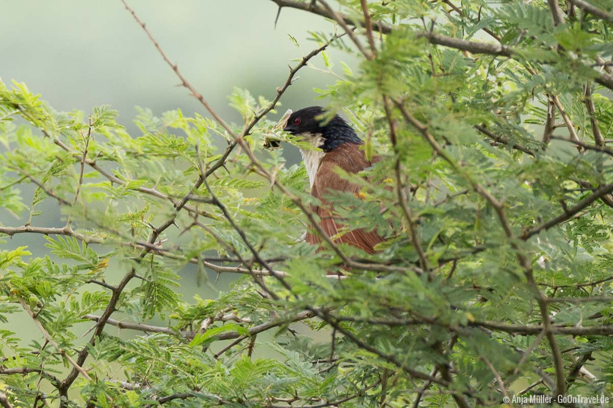 Burchell´s coucal – Tiputip