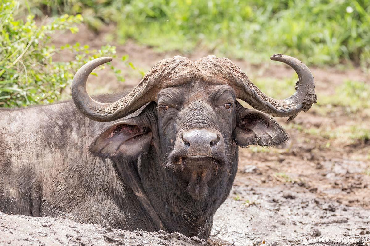 Ein Afrikanischer Wasserbüffel