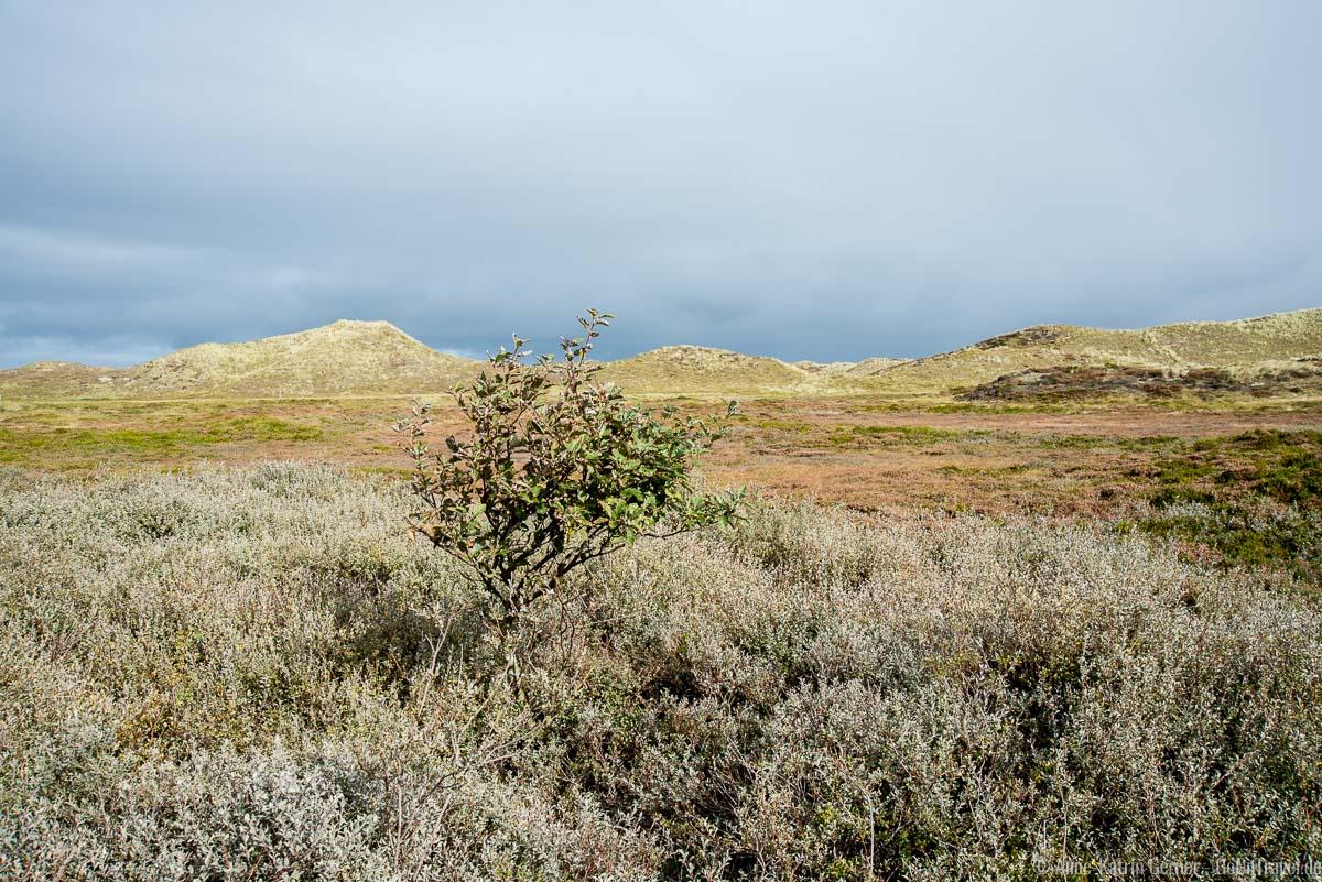 Kriechweide und schwedische Mehlbeere im Listland