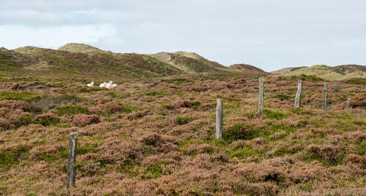 Die Schafe erwarten uns im NSG Nord-Sylt