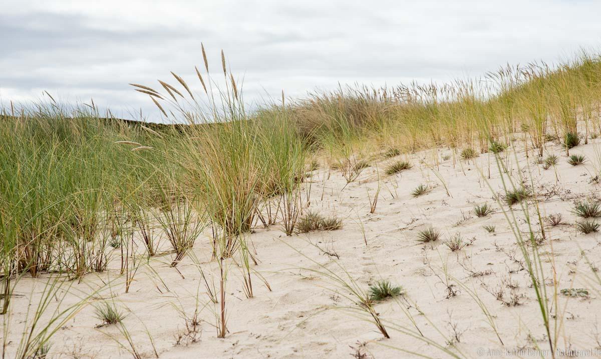 Strandhafer am Fuße der Wanderdüne