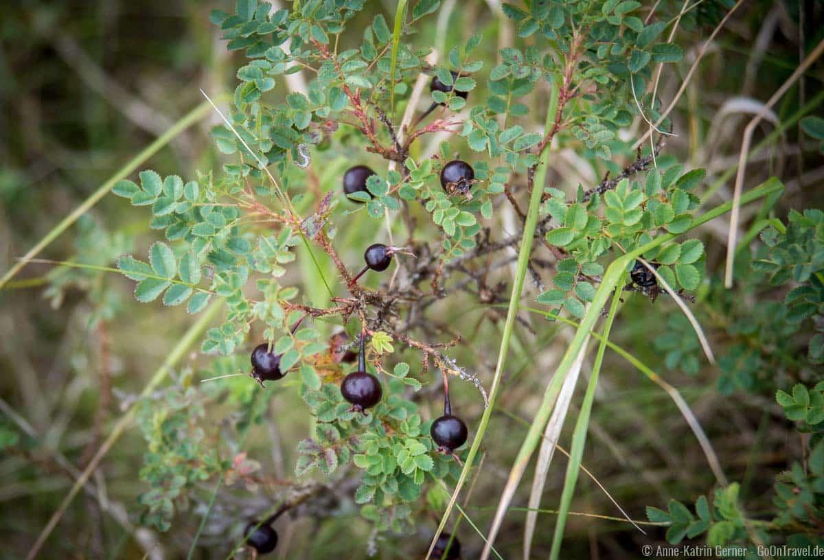 die Hagebutten der seltenen Dünenrose sind schwarz