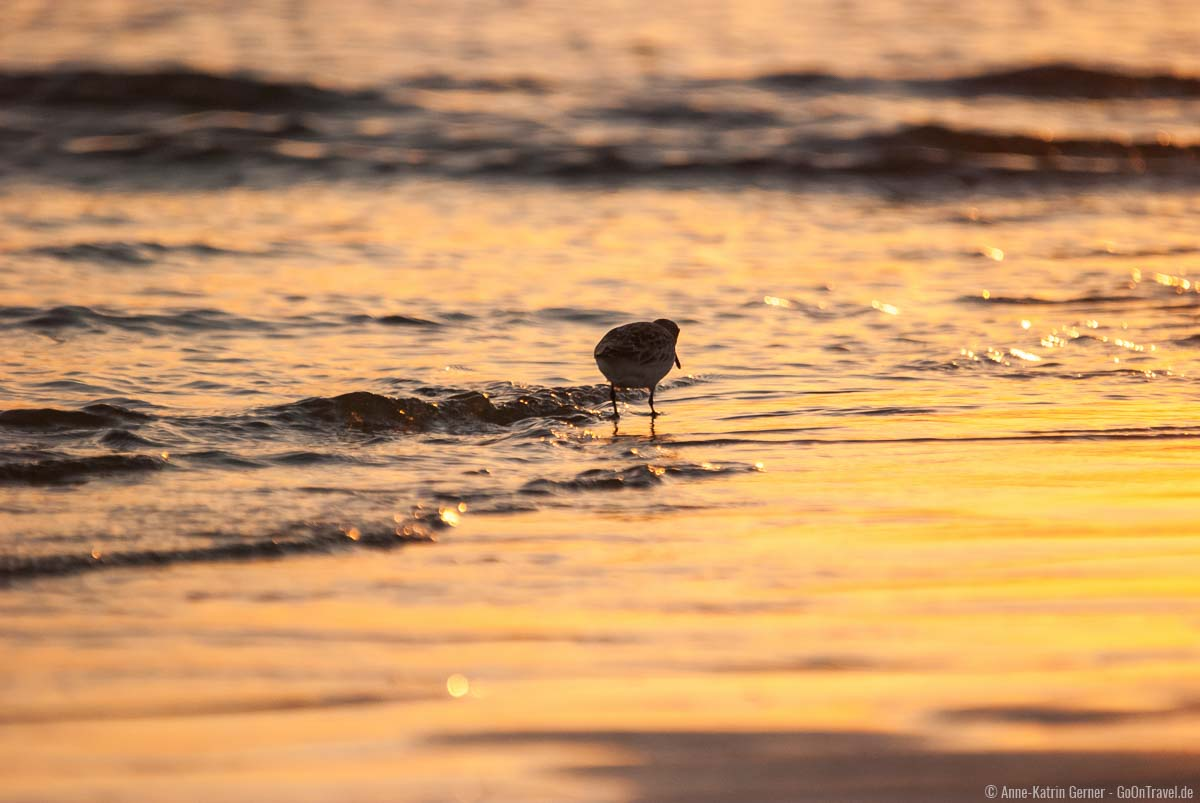 Sanderling zum Sonneruntergang