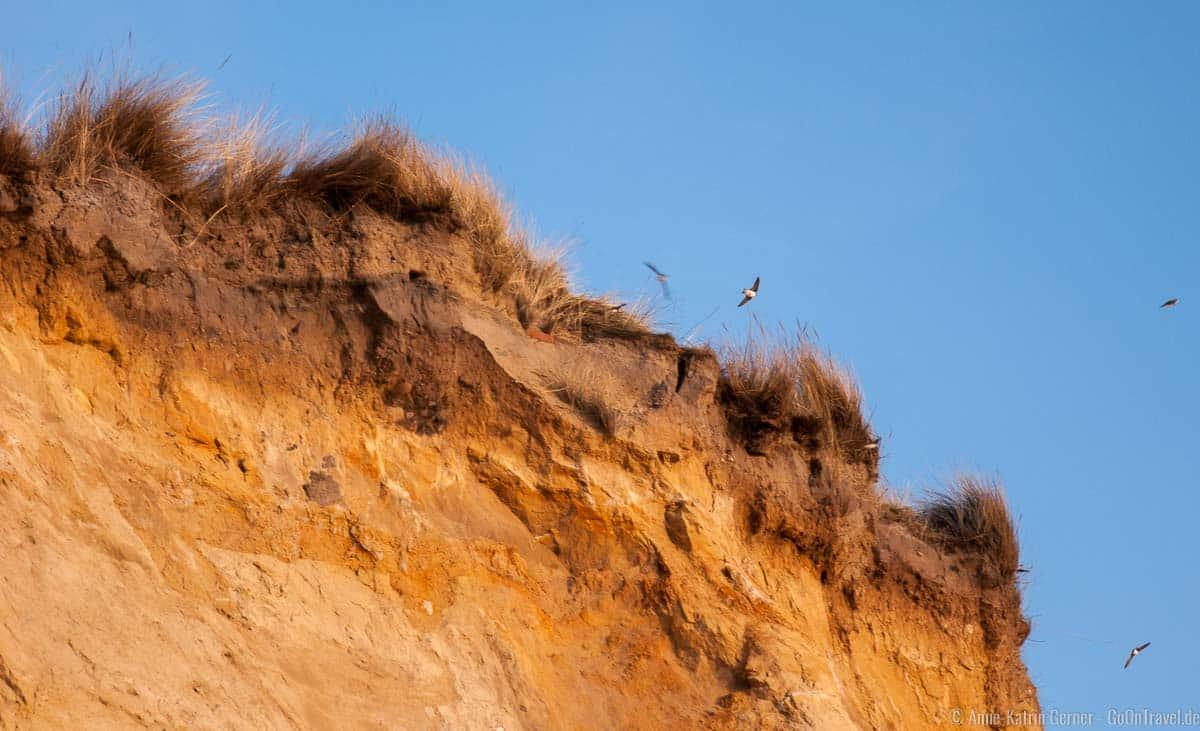 In den Sommermonaten nisten Schwalben im Roten Kliff