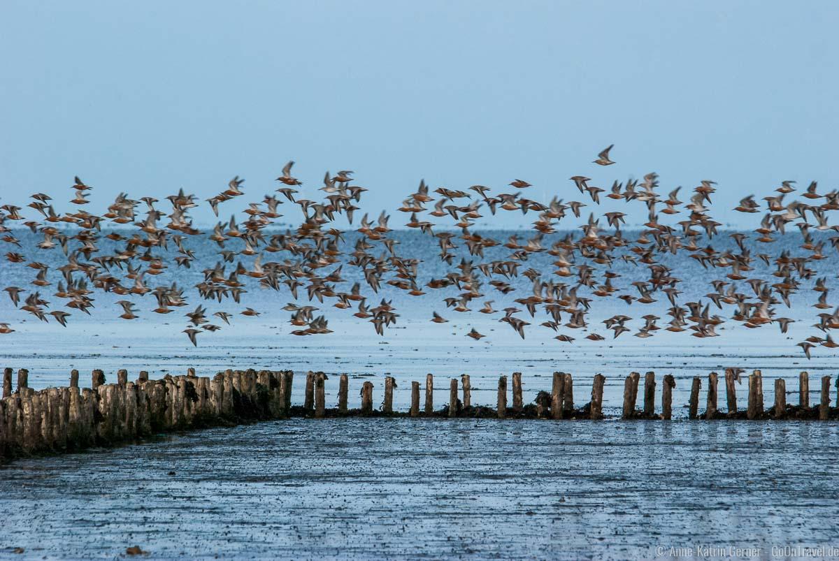 Knuttschwarm im Wattenmeer