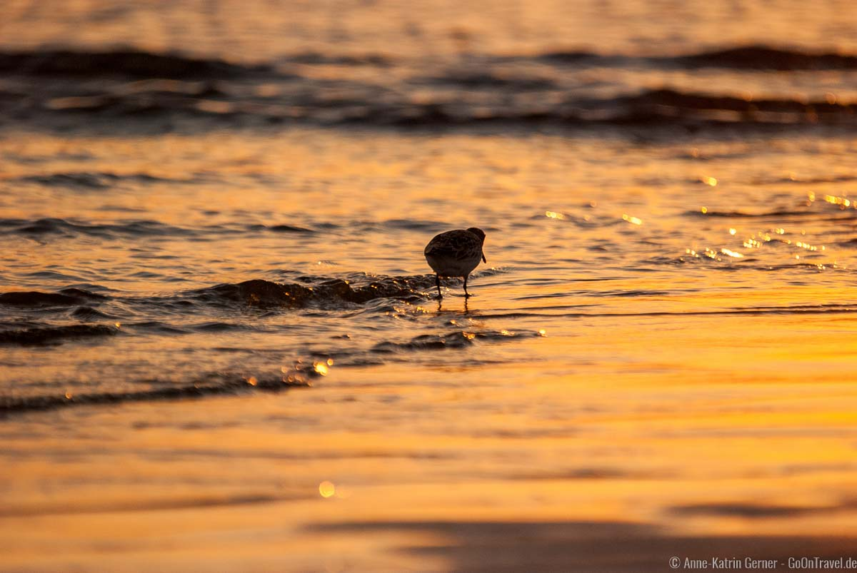 Sanderling am Flutsaum