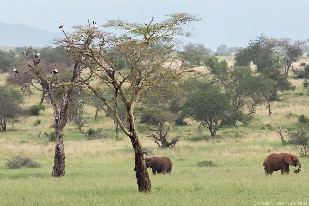 Weißstörche und Elefanten im Taita Hills Reserve im Januar