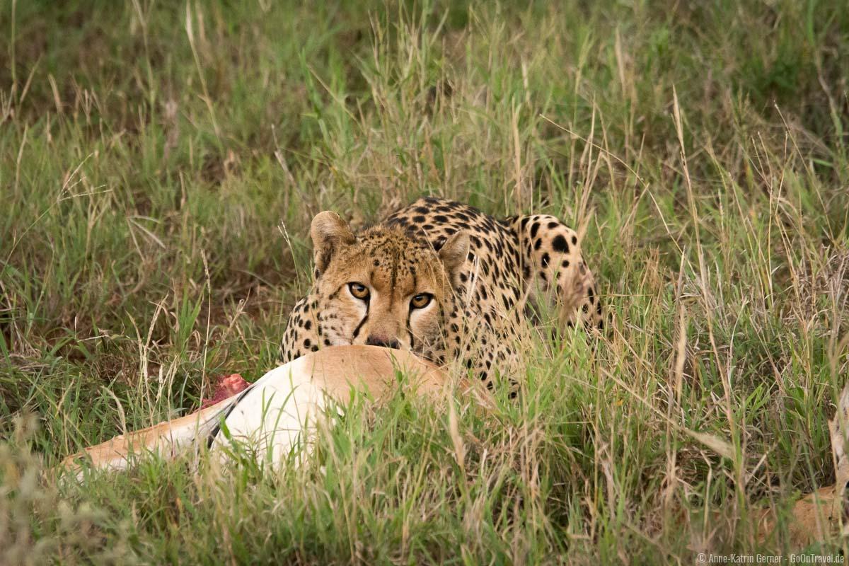 Gepard mit frisch erlegter Beute