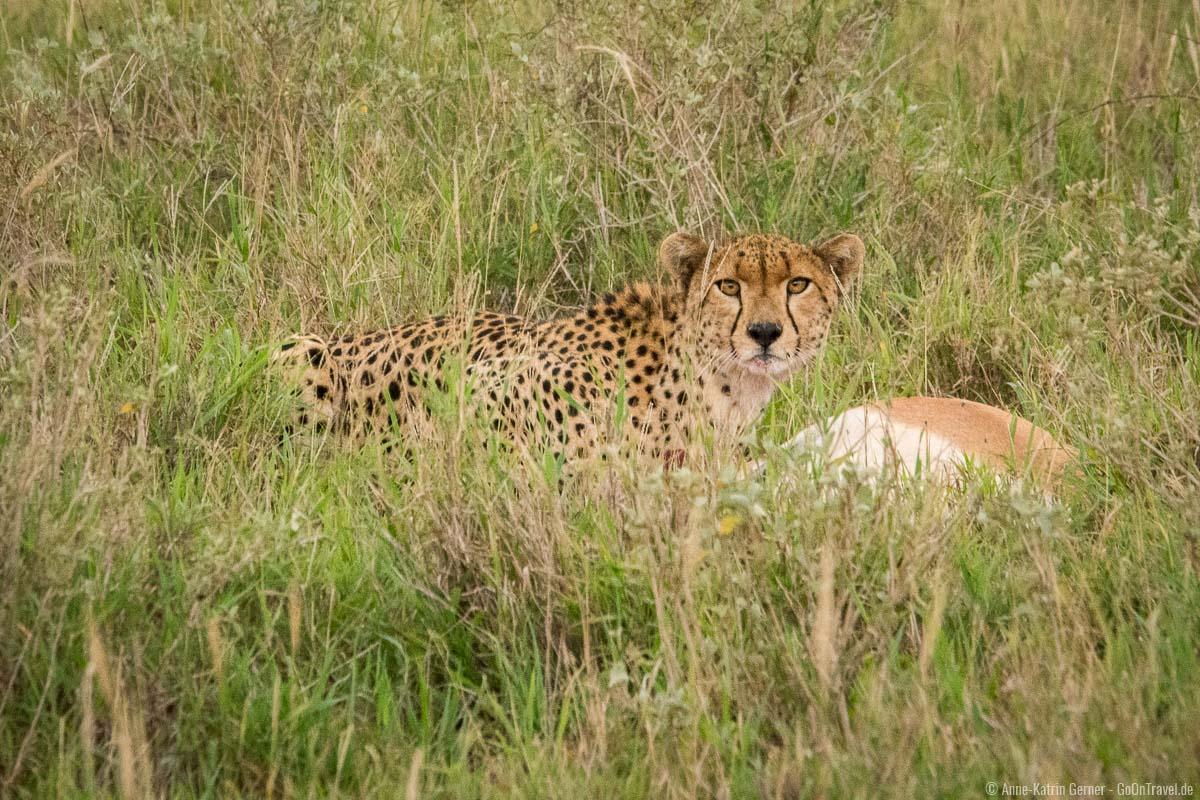 Gepard in Taitia Hille mit erlegter Gazelle