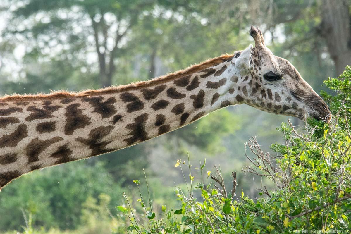 Masai-Giraffe bei der Nahrungsaufnahme
