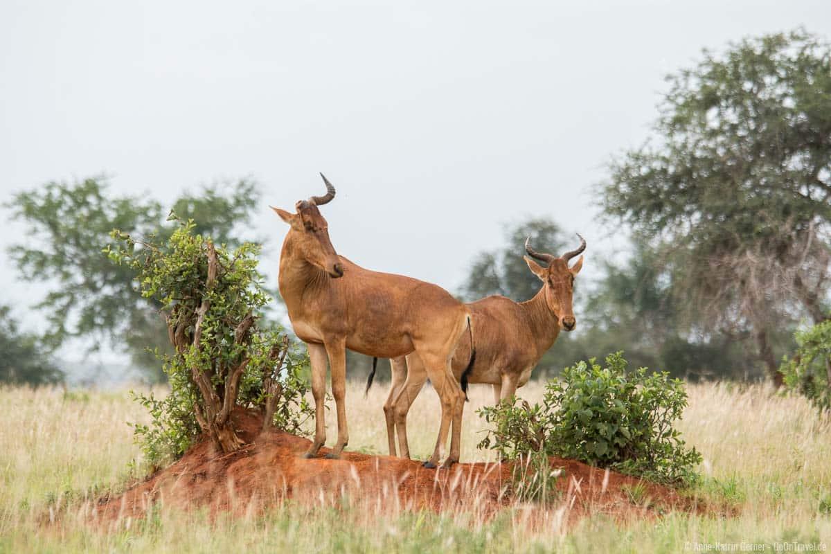 Kuhantilopen auf einem Termitenhügel