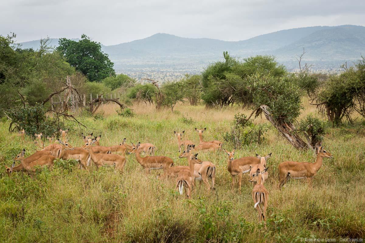 Impalas sind in Taita Hills häufig anzutreffen