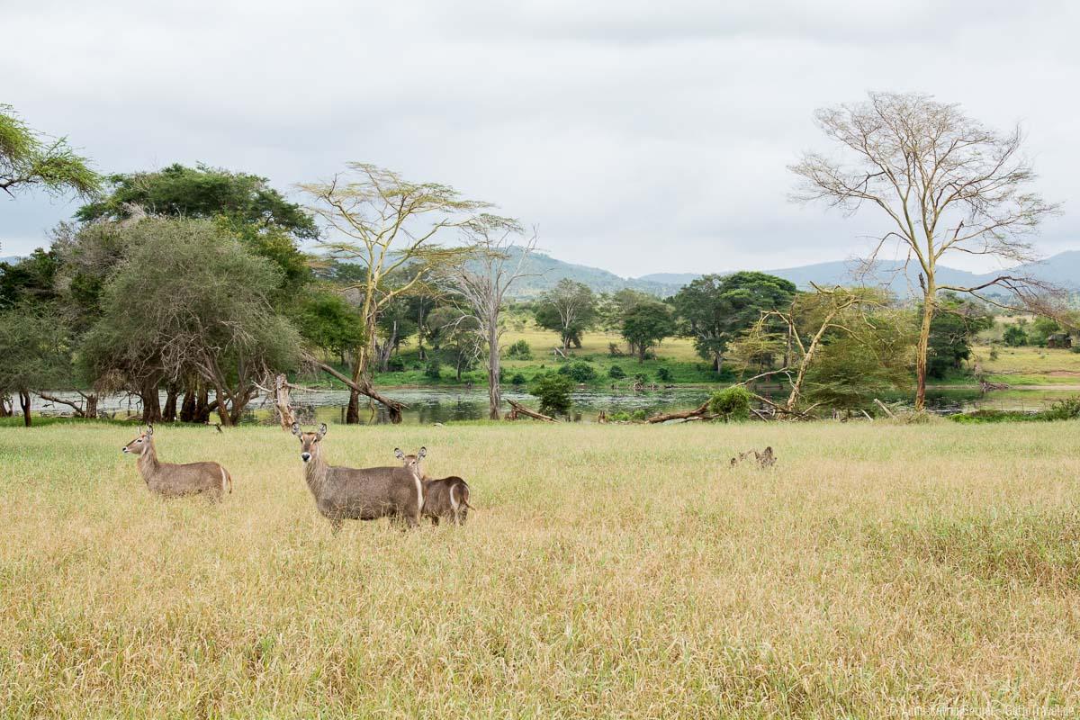 Wasserböcke im Taita Hills Reserve in Kenia