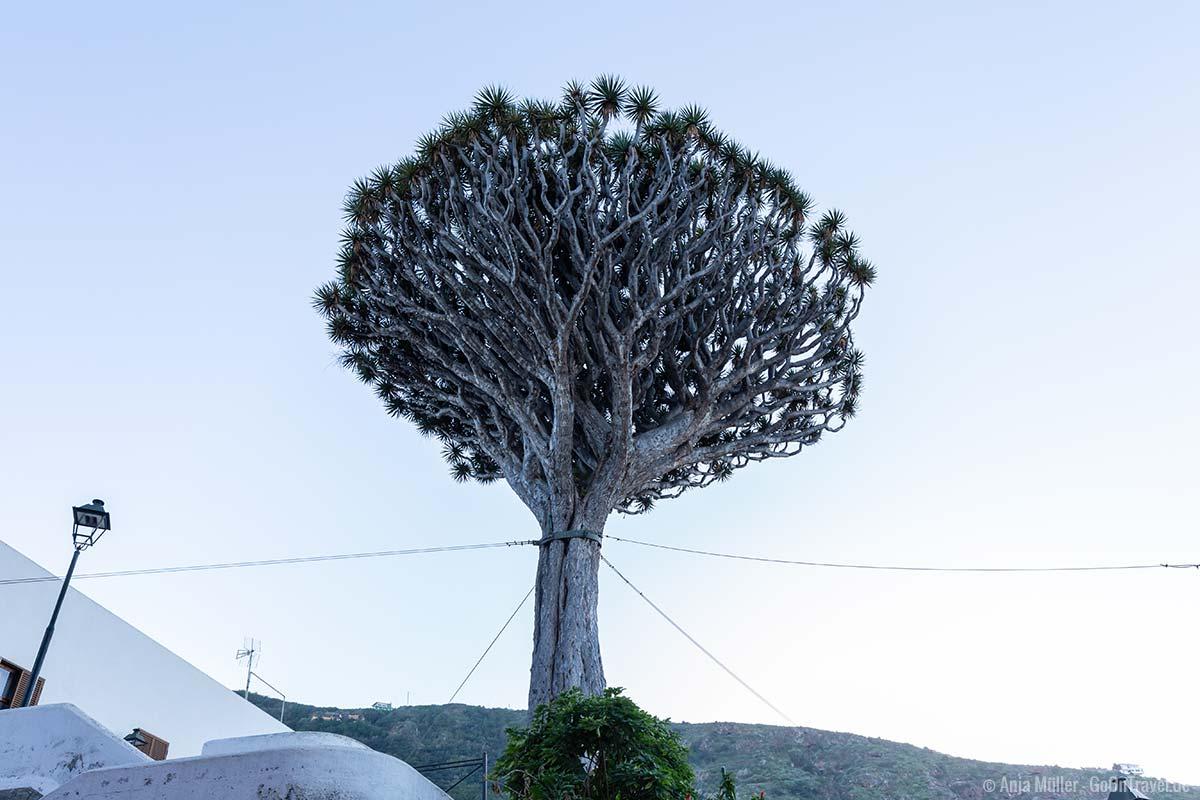Das ist nicht der El Drago, aber ein weiterer alter Drachenbaum in Icos de los Vinos