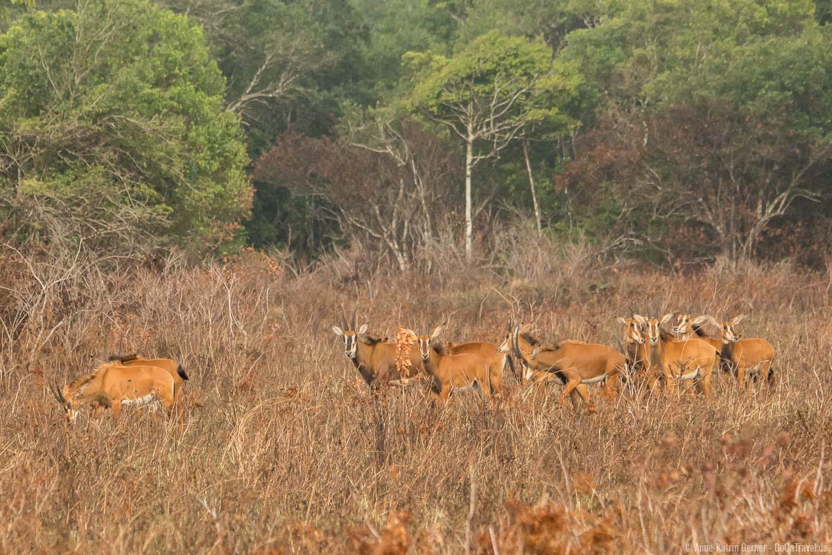 Herde weiblicher Rappenantilopen