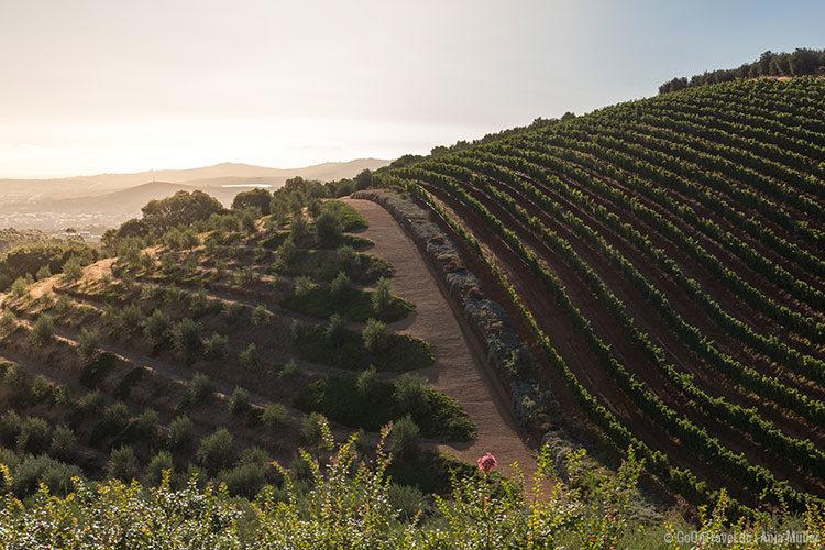 Weinberge im Kapweinland