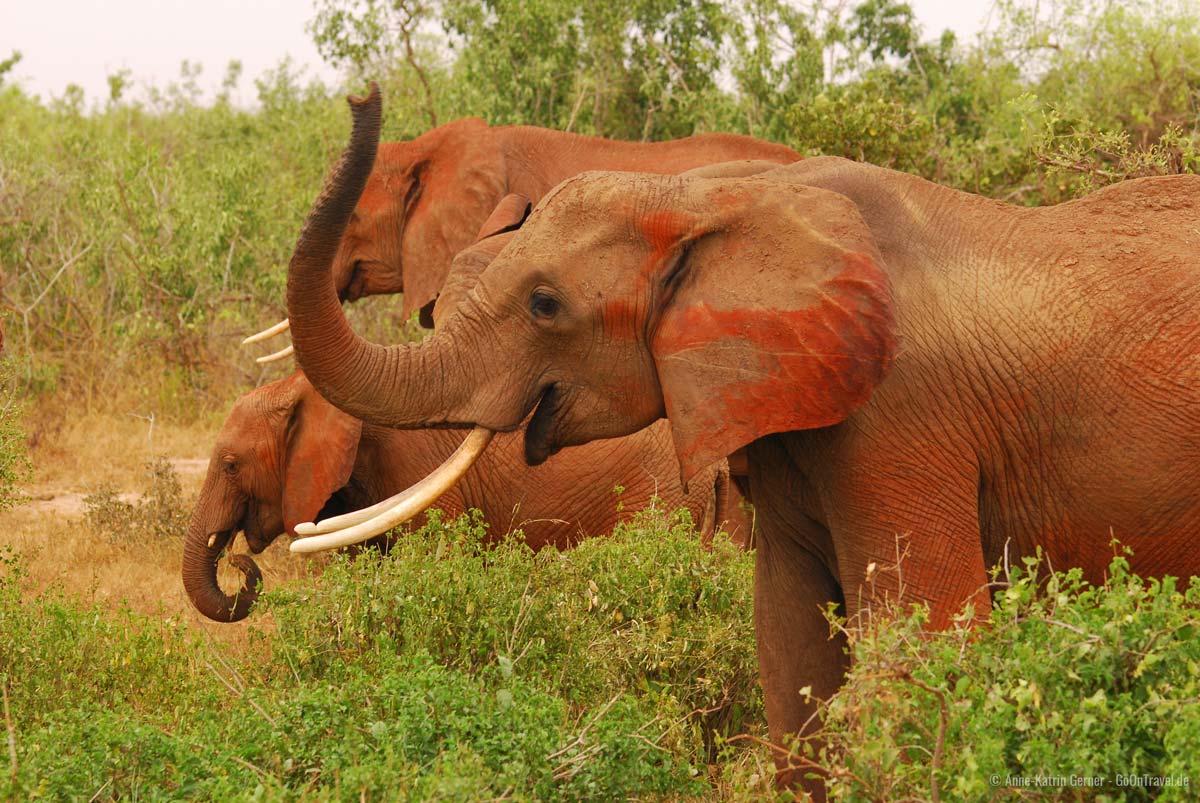 die rote Erde von Tsavo gibt den Elefanten ihr Aussehen
